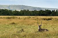 A lone Waterbuck resting in the Masai Mara National Park, Kenya