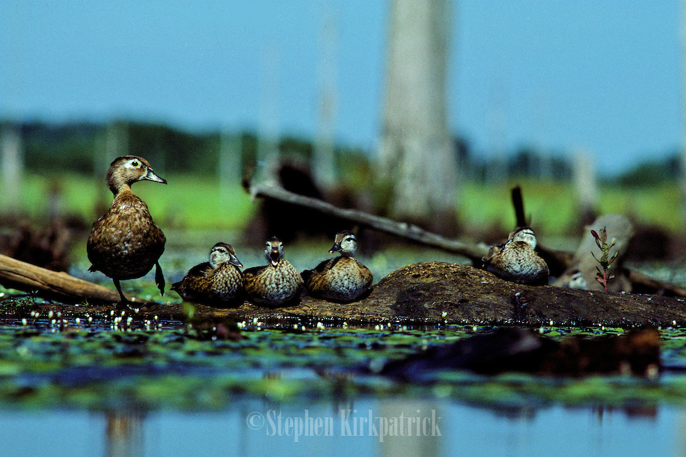 Wood ducks - Mother & young resting on log in the Pearl River swamp - Mississippi
