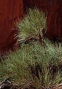 Mormon Tea, Ephedra viridis var. viridis, Arches National Park, Utah.