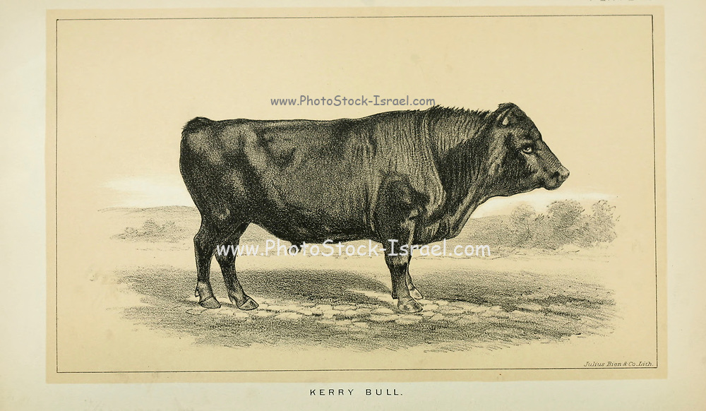 Kerry Bull from Cattle and dairy farming. Published 1887 by Govt. Print. Off. in Washington. United States. Bureau of Foreign Commerce (1854-1903)