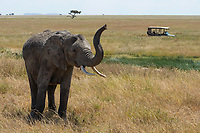 Tourists in a safari vehicle stop to watch an African Elephant, Loxodonta africana, in Serengeti National Park, Tanzania
