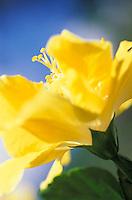 Cayena o hibisco amarillo, hibiscus