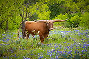 Longhorn cattle among bluebonnets in the Texas Hill Country. The Texas Hill Country is a twenty-five county region of Central Texas and South Texas featuring karst topography and tall rugged hills consisting of thin layers of soil atop limestone or granite. It also includes the Llano Uplift and the second largest granite dome in the United States, Enchanted Rock. The Hill Country reaches into portions of the two major metropolitan areas, especially in San Antonio's northern suburbs and the western half of Travis County, ending southwest of Downtown Austin. The region is the eastern portion of the Edwards Plateau and is bound by the Balcones Fault on the east and the Llano Uplift to the west and north. The terrain is punctuated by a large number of limestone or granite rocks and boulders and a thin layer of topsoil, which makes the region very dry and prone to flash flooding. The Texas Hill Country is also home to several native types of vegetation, such as various yucca, prickly pear cactus, cedar scrub, and the dry Southwestern tree known as the Texas live oak.