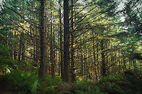 A Sitka spruce forest near Oregon's Cannon Beach on a rare sunny winter day. These gorgeous coastal forests stretch along most of the Pacific Northwest's Pacific coast.