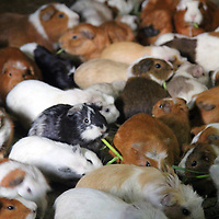 South America, Peru, Ollanta. Guinea Pigs populate kitchen floors in Ollanta, Peru.