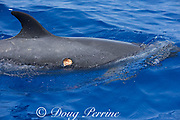 pantropical spotted dolphin, Stenella attenuata, with wound from cookie cutter shark bite, infested with cyamid amphipods or whale lice, South Kona, Hawaii ( the Big Island ) Central Pacific Ocean