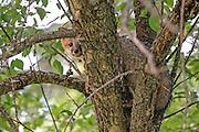 Gray fox pup climbing a tree