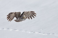 In Flight, Great Grey Owl, Jackson Hole, Wyoming