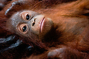 An infant orangutan ( Pongo pygmaeus ) close-up as he lays in his mother's large hand, Borneo, Indonesia