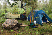 Galapagos Giant Tortoise (Geochelone elephantophus vandenburghi) in the 'campsite'<br /> Alcedo Volcano crater floor, Isabela Island<br /> GALAPAGOS ISLANDS<br /> ECUADOR.  South America<br /> One of 11 sub-species survising in the islands. This is an example of the dome-shaped sub-species. Alcedo hosts over half the 15,000 tortoises left in Galapagos. All tortoises were heavy hunted for food in the past. Dome-shaped males are double the size of the females. Males stay mainly in the highlands while females migrate towards the coast when they need to lay eggs.