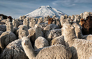 Cotopaxi Volcano (5897 meters) & Alpacas (Lama pacos)<br /> Highest active volcano in the world<br /> Surrounded by Paramo Habitat in Cotopaxi National Park<br /> Andes<br /> ECUADOR.  South America
