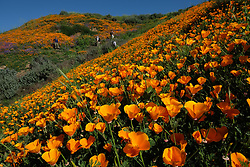 Mar 12, 2017 - Chino Hills, California, U.S. - Park visitors walk through a carpet of wild growing bright orange poppies. With the wettest winter California has seen in years, wild flowers are blooming across the south land including Chino Hills, foothills of the Santa Ana Mountains, where a sea of poppies have sprung up in the now lush green state park. The poppy is the California state flower. (Credit Image: © Ruaridh Stewart via ZUMA Wire)