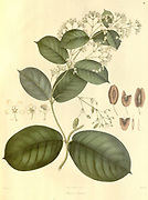 Aspidopterys hirsuta [Here as Hiraea hirsula] Plantae Asiaticae rariores, or, Descriptions and figures of a select number of unpublished East Indian plants Volume 1 by N. Wallich. Nathaniel Wolff Wallich FRS FRSE (28 January 1786 – 28 April 1854) was a surgeon and botanist of Danish origin who worked in India, initially in the Danish settlement near Calcutta and later for the Danish East India Company and the British East India Company. He was involved in the early development of the Calcutta Botanical Garden, describing many new plant species and developing a large herbarium collection which was distributed to collections in Europe. Several of the plants that he collected were named after him. Published in London in 1830
