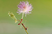 """BATAM, INDONESIA - <br /> <br />  A set of photographs by Photographer Usman Priyono shows ants raising flowers  in Batam, Riau Islands Province, Indoneisa.<br /> <br /> Usman Priyono, 22 years old, began studying photography since 2014 he was very fond macro photography  """"I want to know better about the insects, insects existing in the environment around me, who have exceptional beauty, I think mandatory to be in the know """".<br /> Set macro photos because """"This idea comes by itself, the purpose of my photos so that people know that in the environment in which we live, there is a beauty that we do not know, especially insects<br /> they have tremendous power even though his body is so small but can lift a load that is larger than its body. <br /> ©Usman Priyono / Exclusivepix Media"""