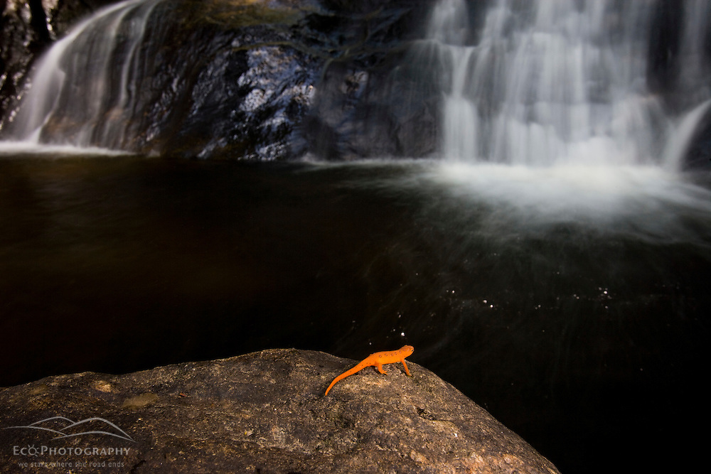 Red-Spotted Newt, Notophthalmus viridescens viridescens. Red eft stage.  Stony Brook in Eden, Vermont.  Green Mountains.