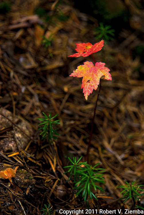 """""""Infants of the Forest""""-A close-up image of red maple and balsam fir seedling trees in the forest with a shallow depth of field."""