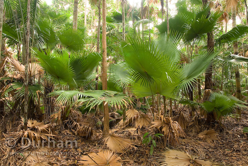 Rare fan palm trees (Livistona endauensis) along the Dato Ghani Trail in Endau-Rompin National Park. These trees, discovered in 1985, are a threatened species, endemic to only this park in Malaysia and a small region along the Malaysian coast.