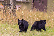 Black bear cubs in residential area of Whitefish, Montana, USA