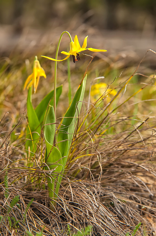 This glacier lily was part of a rather large, loose colony I stumbled into by accident in Yellowstone National Park in Wyoming. As I got out of the truck to take a picture of the roadside sign letting me know I was standing on the Continental Divide, patches of yellow stood out in bright contrast in the pines nearby. The sign let me know I was at exactly 7988 feet above sea level.