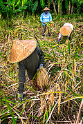 Sharpness prevails here with her hand holding harvested rice and the grains are sharp enough to see the rice grain. Three rice field workers in Bali Indonesia wearing Conical Hats. Vertical RAW to Jpg