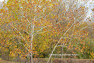 63876-02803 Fall color Sycamore trees at Pyramid State Park Perry Co. IL