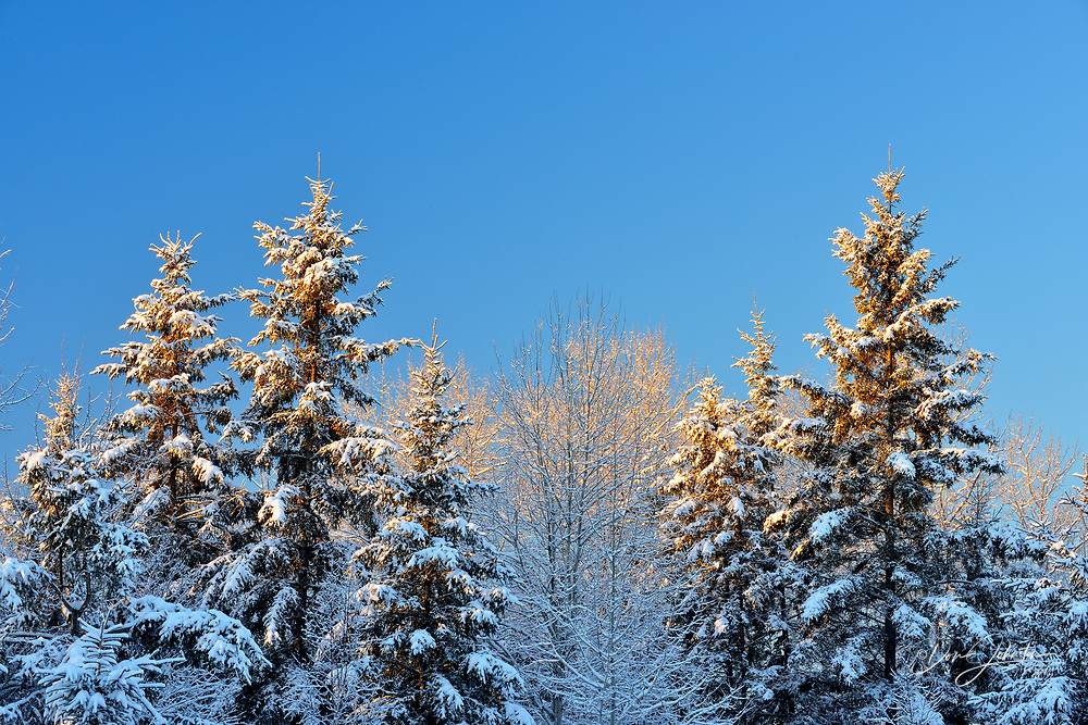 Snow-dusted trees in early morning, Greater Sudbury, Ontario, Canada