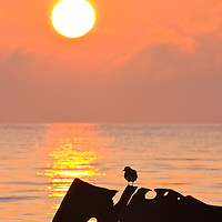 An individual ruddy turnstone (Arenaria interpres) sitting on a decaying old dock structure is partially silhoutted against the sunrise, Port Mahon, Delaware.