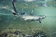 juvenile lemon shark, Negaprion brevirostris, caught in gill net, Florida Bay, Florida, USA ( Western Atlantic Ocean )