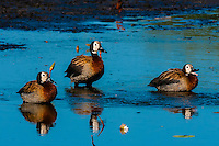 White-faced whistling ducks. near Kwara Camp, Okavango Delta, Botswana.
