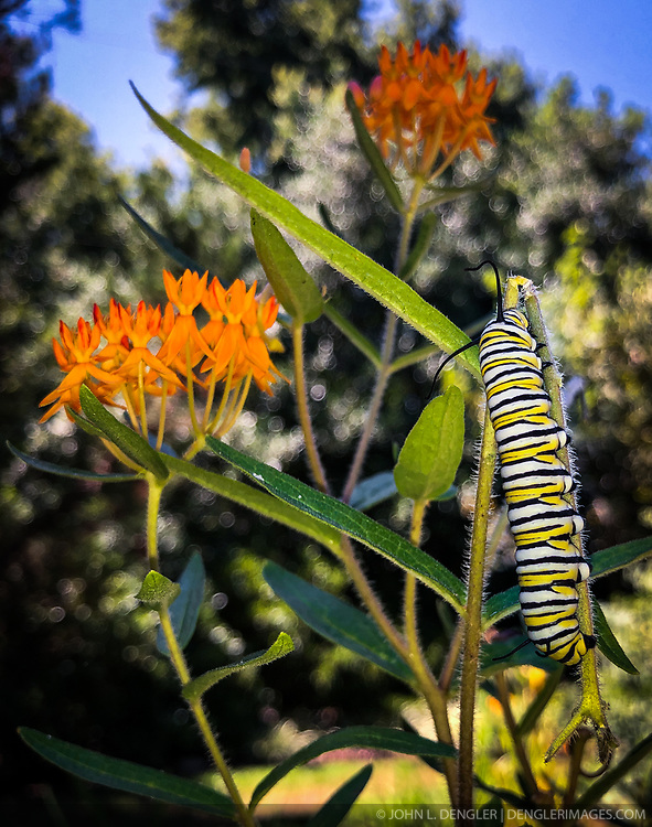 Butterfly weed (Asclepias tuberosa) is a favorite of monarch butterflies and caterpillars. Monarchs are known for their seasonal lengthy migration, they migrate from the United States and Canada south to California and Mexico for the winter.