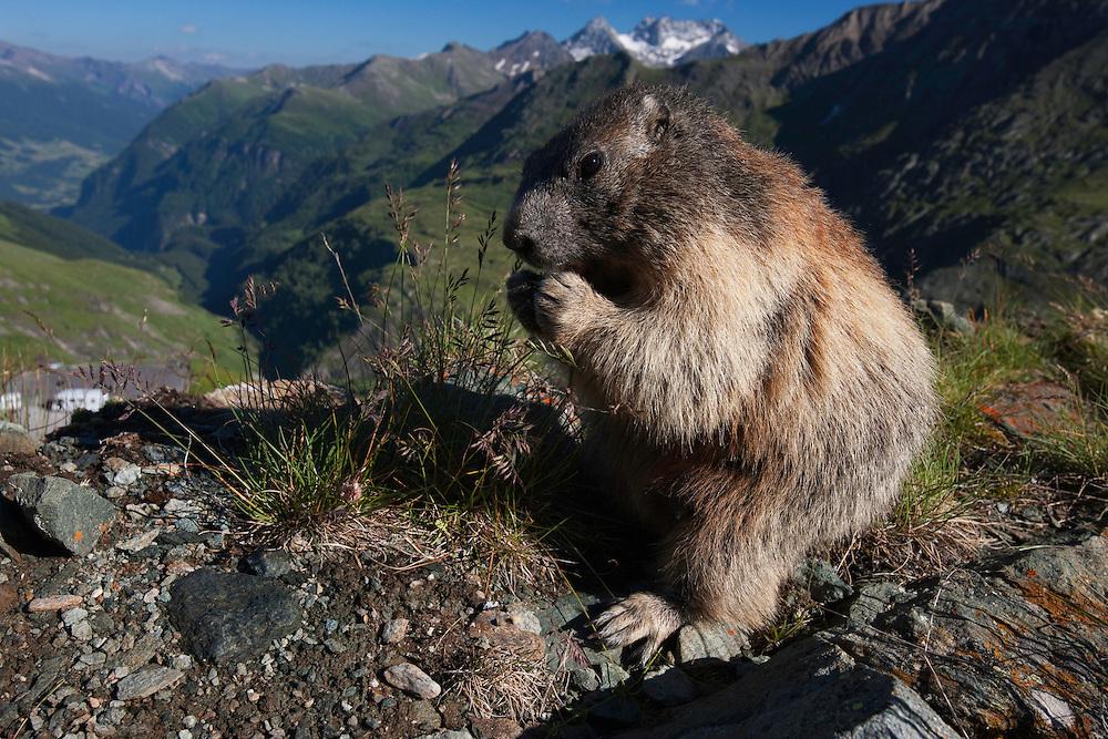 Marmot feeding, Hohe Tauern national park;  Alps; Austria; Europe