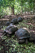 Aldabra giant Tortoises, one of the largest in the world are the main tourist attraction of Changuu island, also known as prison island, Zanzibar, Tanzania.  Tourists visit prison Island on a daily basis to see the tortoises from Stone Town, Zanzibar.  (photo by Andrew Aitchison / In pictures via Getty Images)