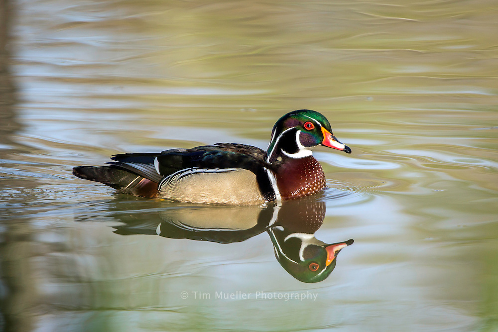 A wood duck at LSU lakes near the LSU campus in Baton Rouge, La.