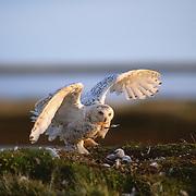 Snowy Owl (Bubo scandiacus) adult on a nest with its chicks. Barrow, Alaska