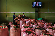 Chimoré, Bolivia. 08/01/2020. Cocaleros fill bags with coca leaves at Chimore coca market, a city located in the Chapare region, electoral stronghold of former president Evo Morales and the main coca production zone used by drug trafficking.