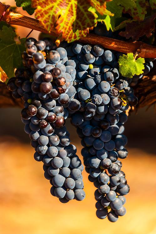 Wine grapes, Harvest time at Kleine Zalze Wines, Stellenbosch, Cape Winelands, South Africa.