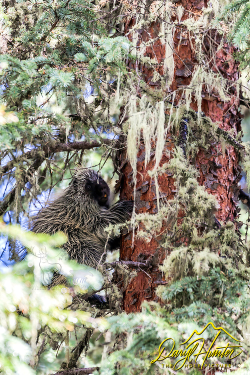Porcupine up a ponderosa pin in the San Juan Mountains of southwest Colorado.