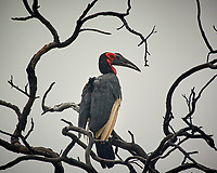 Southern Ground-Hornbill in a tree. Chobe, Botswana. Image taken with a Nikon 1 V3 camera and  70-300 mm VR lens.