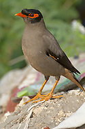 Bank Mynah - Acridotheres ginginianus
