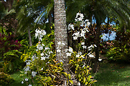 Orchids around the base of a palm tree in the Sunnyside Garden, St. George's, Grenada, West Indies, the Caribbean