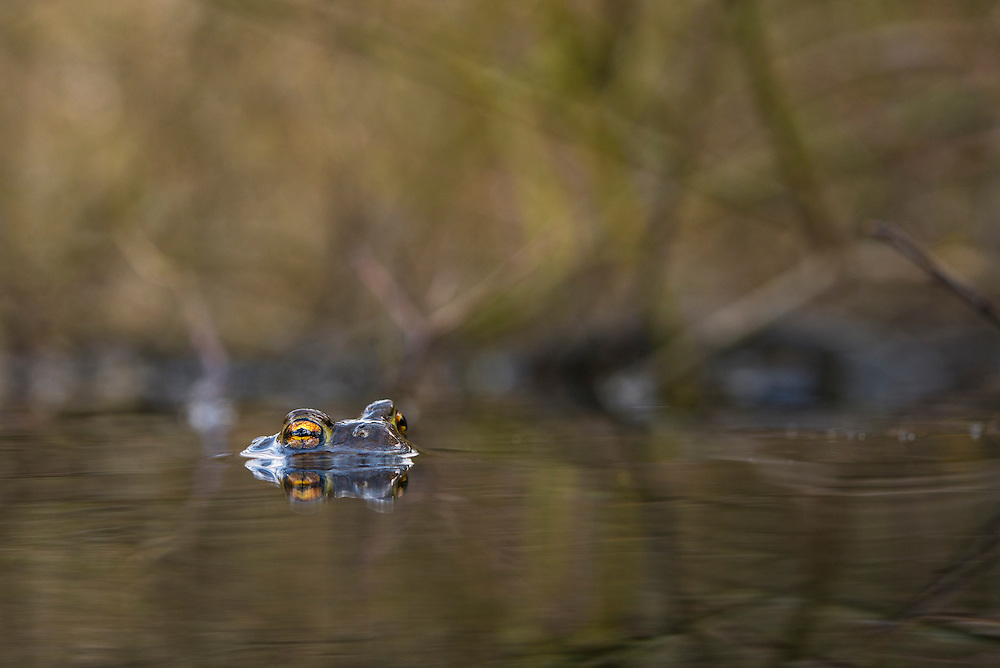 Common toad (Bufo bufo), vanlig padda<br /> Location: Billebjär, Skåne, Sweden
