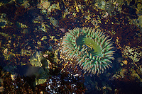 Green Sea Anemone in a Tidal Pool near Big Sur, California. Image taken with a Nikon D3s and 50 mm f/1.4G lens (ISO 200, 50 mm, f/16, 1/6 sec).