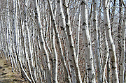 A long row of white Paper Birch saplings lines a path in Acadia National Park, Maine