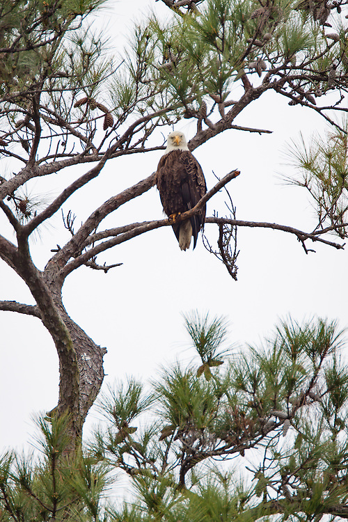 A bald eagle perches as sentry near its nest with two young along the May River.