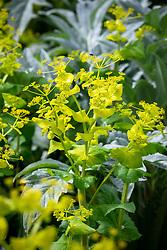 Smyrnium perfoliatum - Perfoliate alexanders