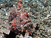 Warty Frogfish (Antennarius maculatus) Pink Phase - Milne Bay, PNG..Frogfish are lie & wait carnivorous predators.  They have an appendage above their head which is waved about to attract prospective prey.  All frogfish have large mouths are are capable of swallowing prey to their own size.  Rather than swim above the bottom, they walk along the substrate using their pectoral fins.  Frogfish inhabit reef areas to a depth 73 m.  Often within one species there will be several different colour variations or phases; brown, black, yellow, white, yellow, red and orange being the most common.  Some species have hairy variations and maybe covered in numerous small wart-like knobs.  Frogfish have been known to mimic the colours of the surrounding terrain (ie sponges & ascidians).  Variable size depending species.   Length 2 - 30 cm