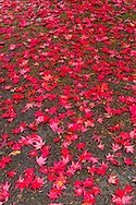 Fallen red leaves of a Japanese Maple in Williams Park, Langley, British Columbia, Canada