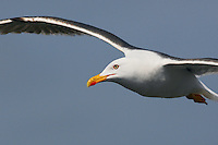 Lesser Black-packed Gull (Larus fuscus), Texel, the Netherlands
