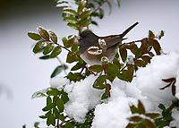 Dark-eyed Junco (Junco hyemalis) perched in snow, Gabriola, BC, Canada