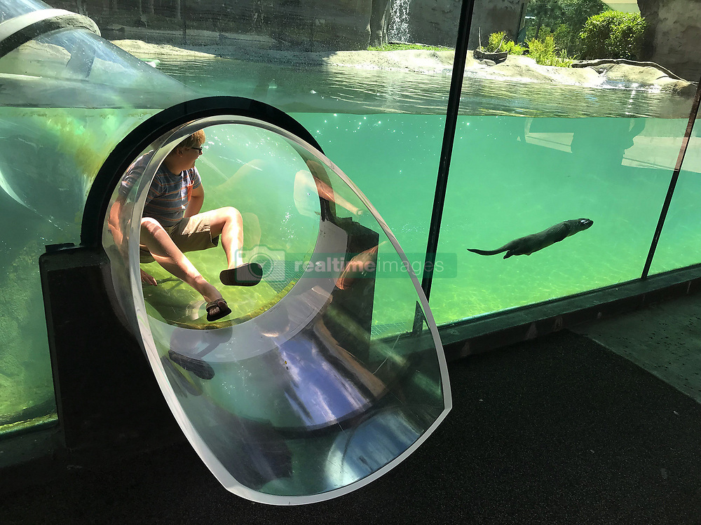 May 13, 2019 - FL, USA - Morgan Tribou, 12, gets a good look from a transparent tube slide at a North American river otter at Zoo Miami. (Credit Image: © TNS via ZUMA Wire)